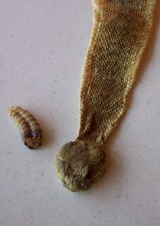 Rattlesnake skin and rattle